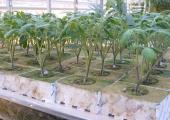 Rozsada Szczepiona 2 pędowa 38-dniowa; pędy 6 - 8 cm.